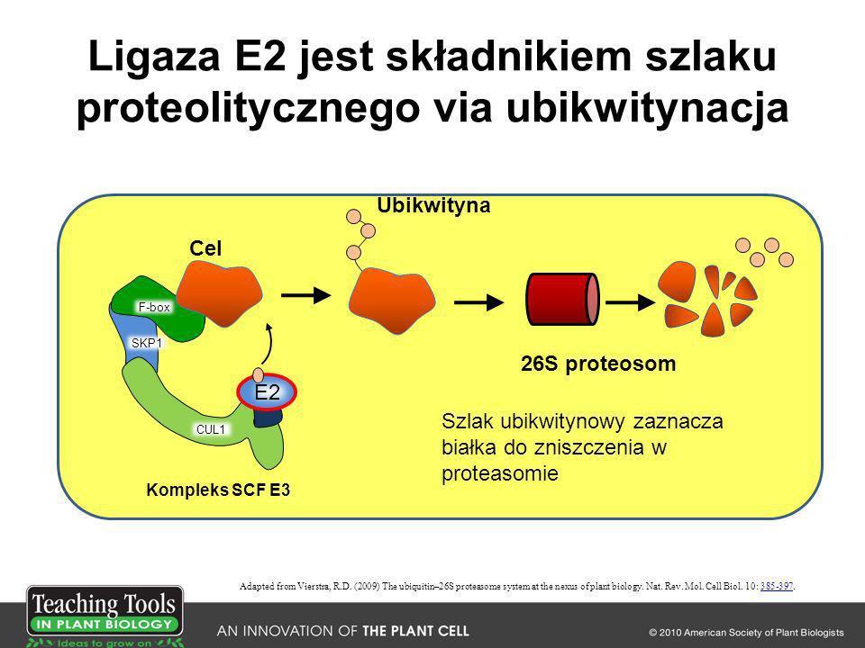 Ligaza E2 jest składnikiem szlaku proteolitycznego via ubikwitynacja