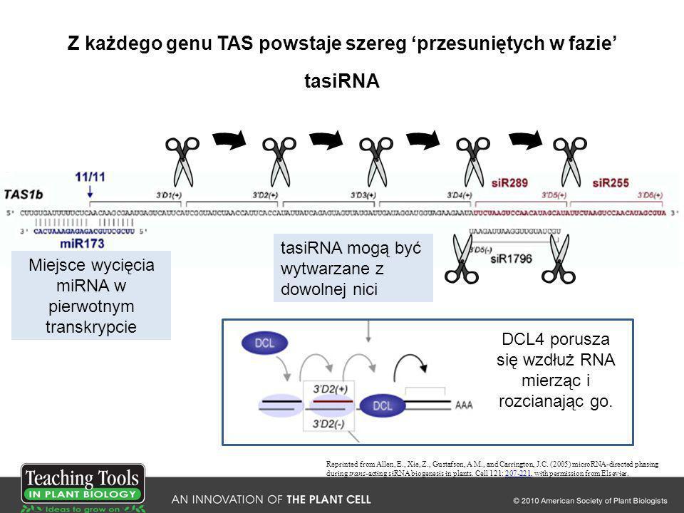 Z każdego genu TAS powstaje szereg 'przesuniętych w fazie' tasiRNA