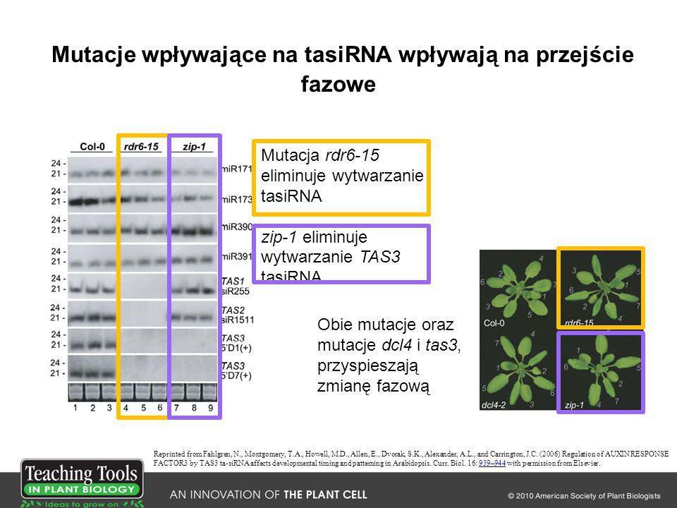 Mutacje wpływające na tasiRNA wpływają na przejście fazowe