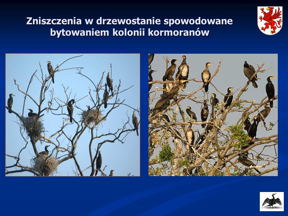 Zniszczenia w drzewostanie spowodowane bytowaniem kolonii kormoranów