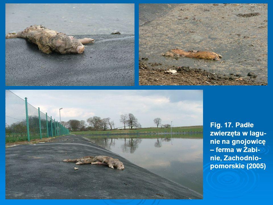 Fig. 17. Padłe zwierzęta w lagu-nie na gnojowicę – ferma w Żabi-nie, Zachodnio-pomorskie (2005)