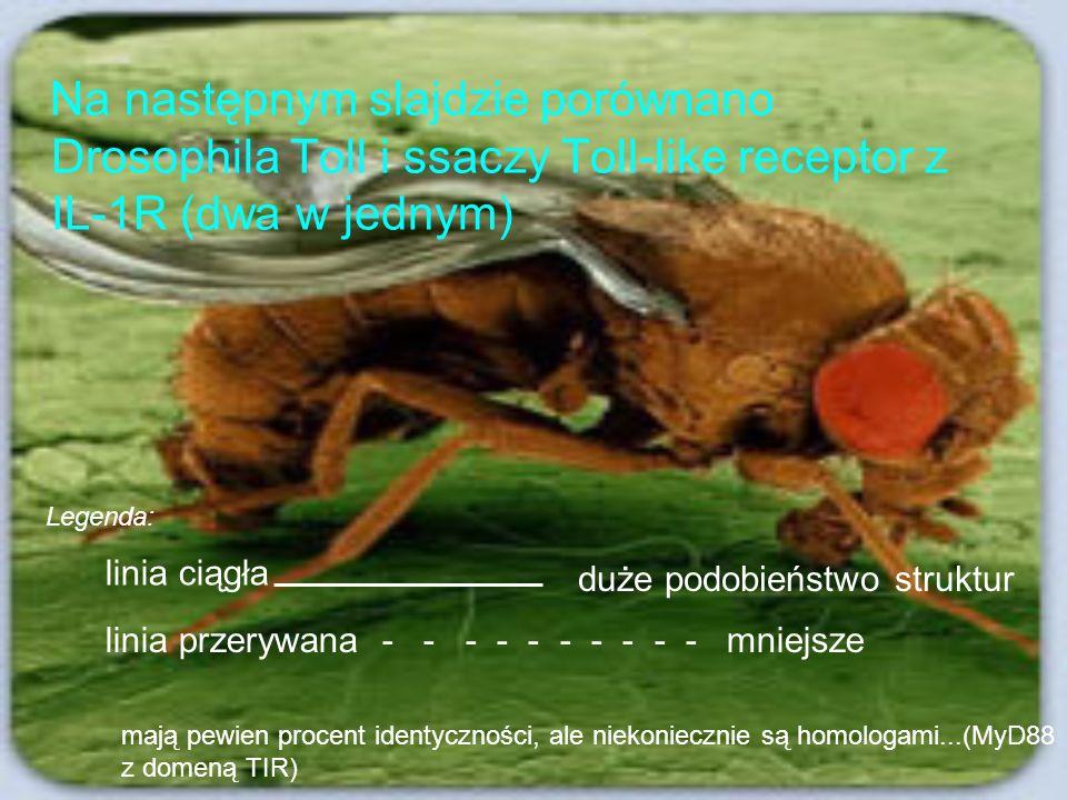 Na następnym slajdzie porównano Drosophila Toll i ssaczy Toll-like receptor z IL-1R (dwa w jednym)