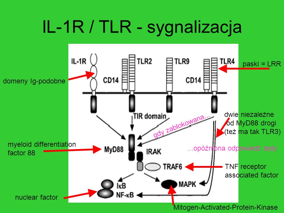 IL-1R / TLR - sygnalizacja