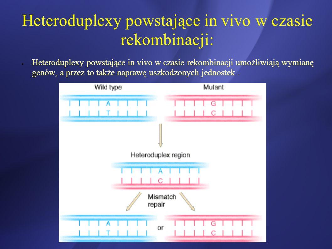 Heteroduplexy powstające in vivo w czasie rekombinacji: