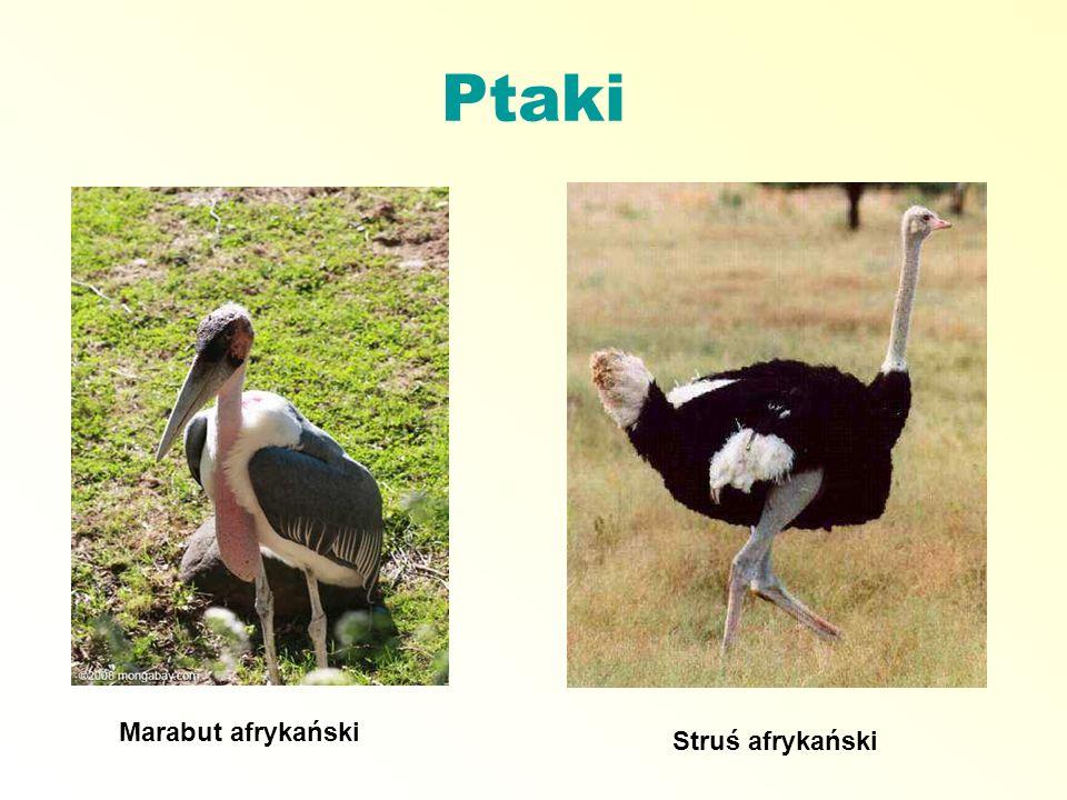 Ptaki Marabut afrykański Struś afrykański