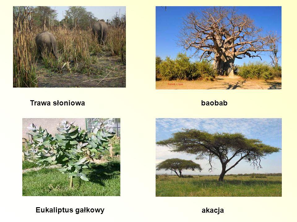 Trawa słoniowa baobab Eukaliptus gałkowy akacja