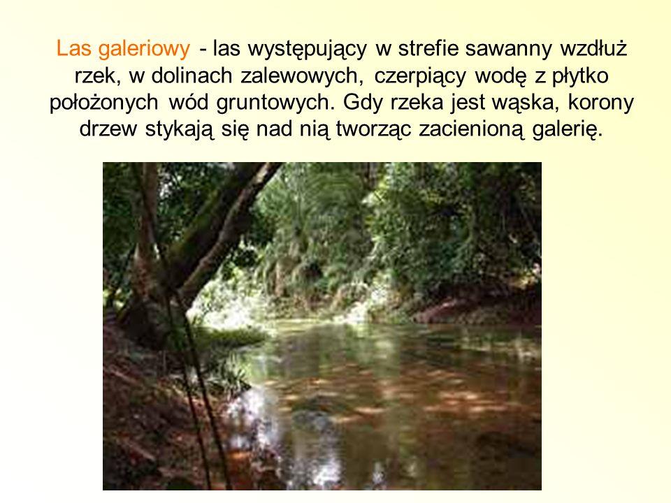 Las galeriowy - las występujący w strefie sawanny wzdłuż rzek, w dolinach zalewowych, czerpiący wodę z płytko położonych wód gruntowych.