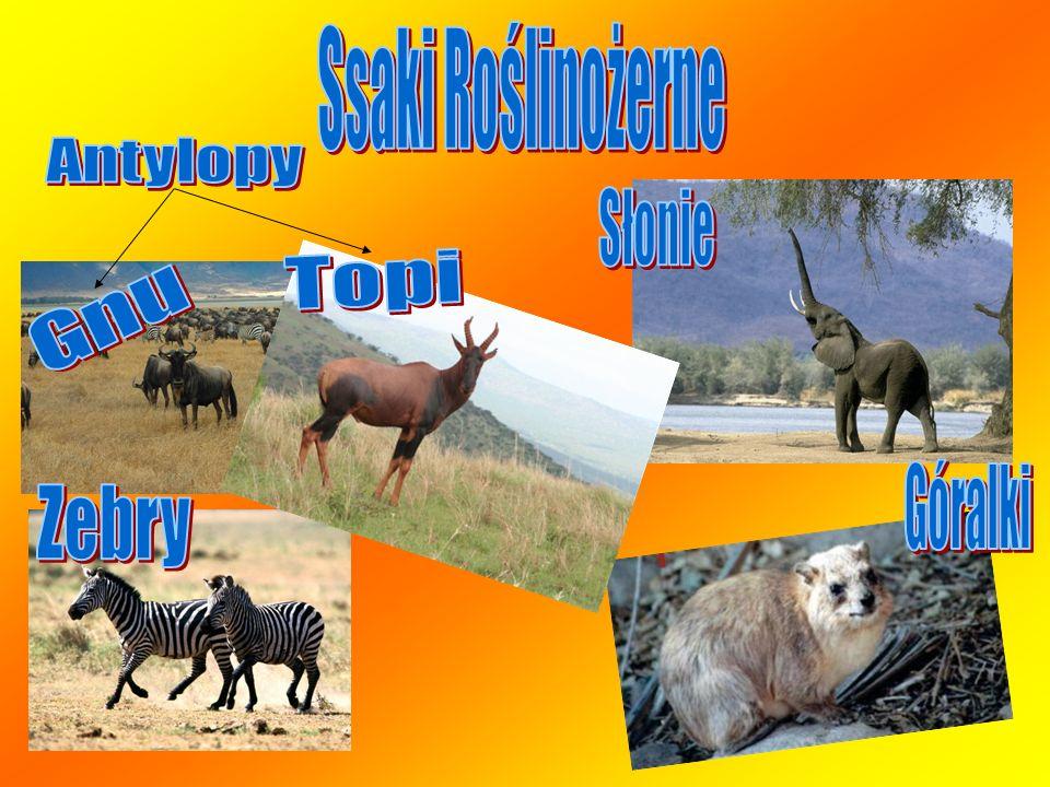 Ssaki Roślinożerne Antylopy Słonie Topi Gnu Góralki Zebry