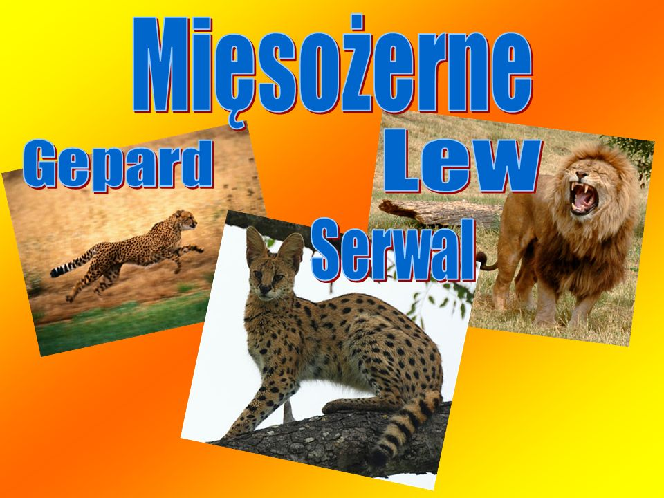 Mięsożerne Lew Gepard Serwal