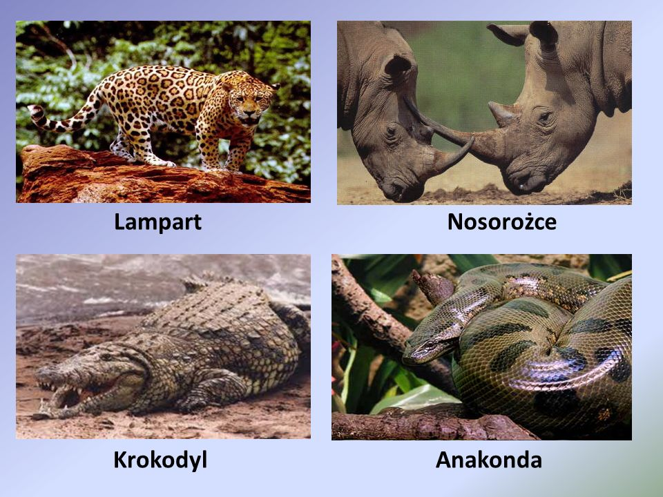 Lampart Nosorożce Krokodyl Anakonda