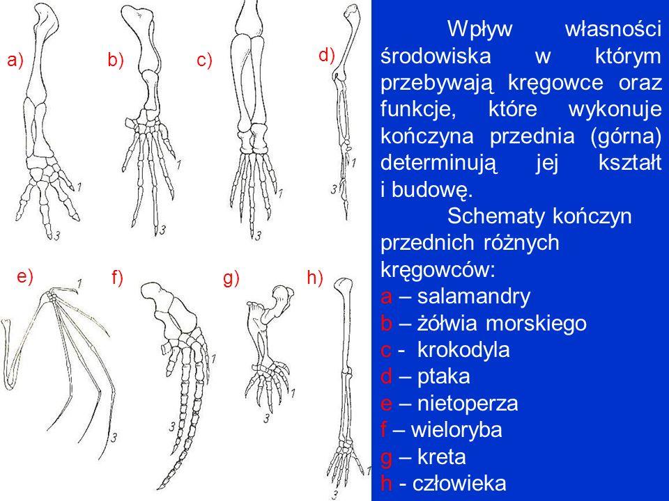 Schematy kończyn przednich różnych kręgowców: