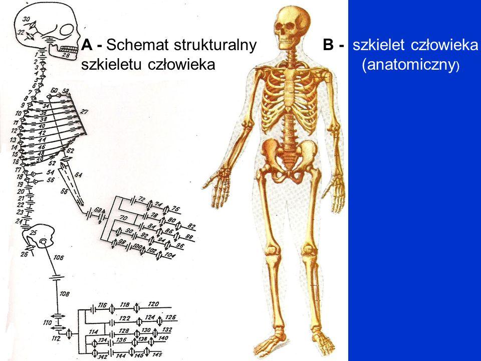 A - Schemat strukturalny szkieletu człowieka