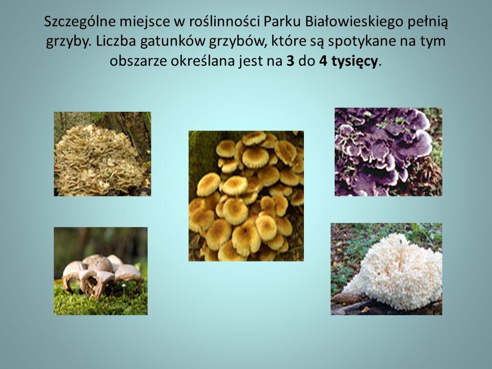 Szczególne miejsce w roślinności Parku Białowieskiego pełnią grzyby