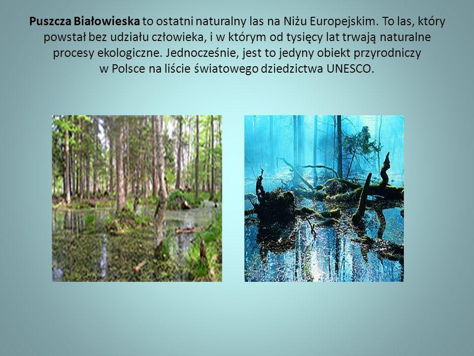 Puszcza Białowieska to ostatni naturalny las na Niżu Europejskim