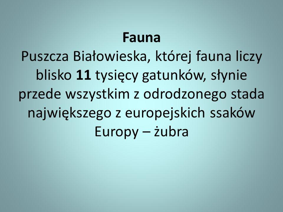 Fauna Puszcza Białowieska, której fauna liczy blisko 11 tysięcy gatunków, słynie przede wszystkim z odrodzonego stada największego z europejskich ssaków Europy – żubra