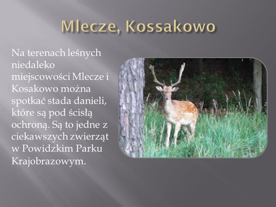 Mlecze, Kossakowo