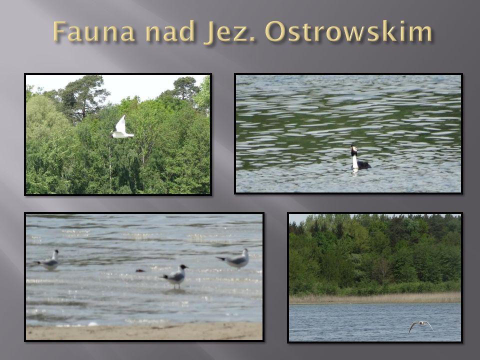 Fauna nad Jez. Ostrowskim