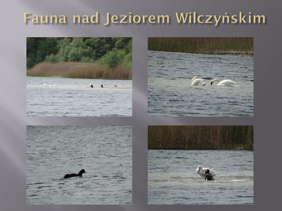 Fauna nad Jeziorem Wilczyńskim