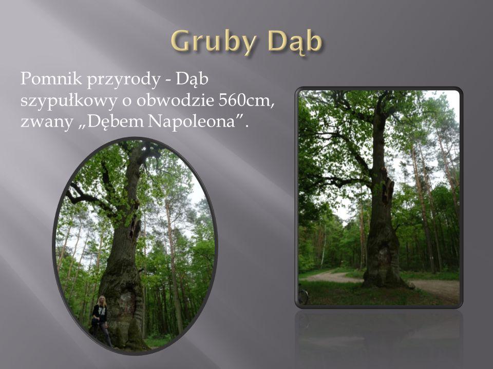 """Gruby Dąb Pomnik przyrody - Dąb szypułkowy o obwodzie 560cm, zwany """"Dębem Napoleona ."""
