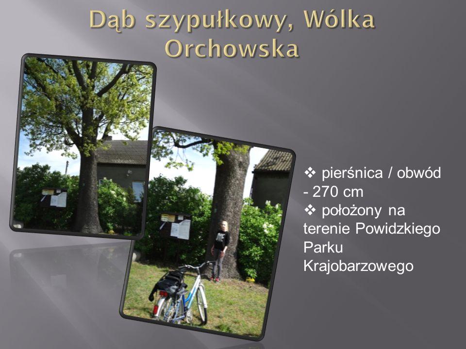 Dąb szypułkowy, Wólka Orchowska