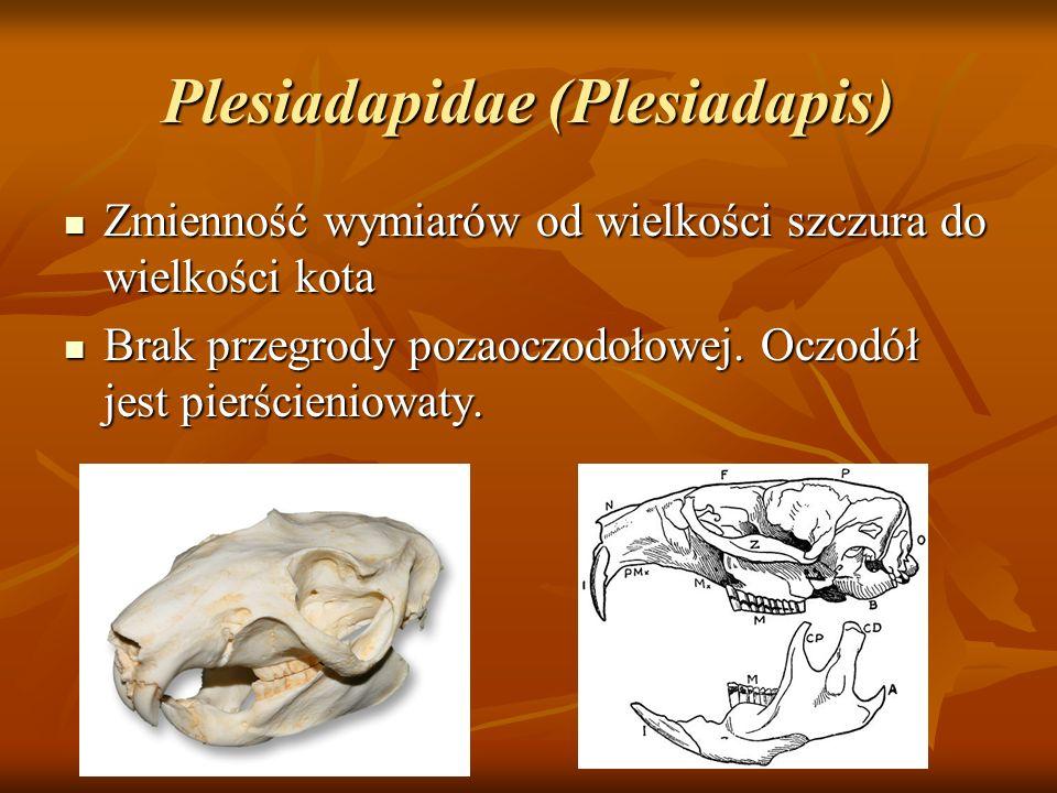 Plesiadapidae (Plesiadapis)