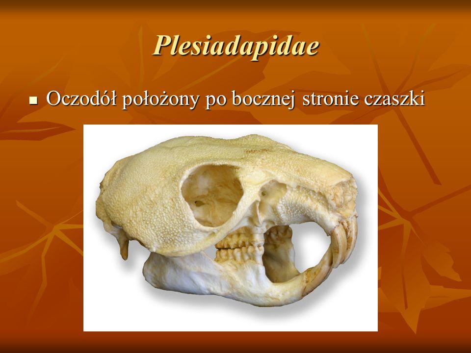 Plesiadapidae Oczodół położony po bocznej stronie czaszki