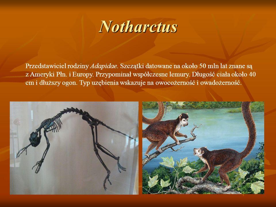 Notharctus