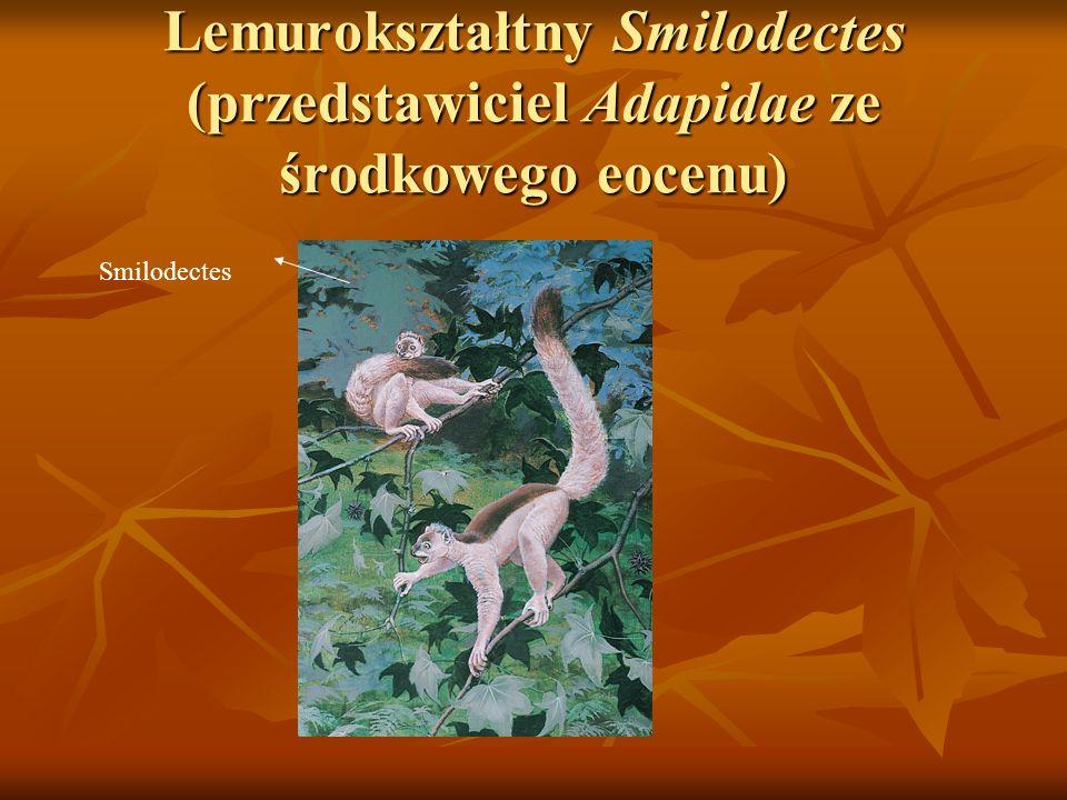 Lemurokształtny Smilodectes (przedstawiciel Adapidae ze środkowego eocenu)