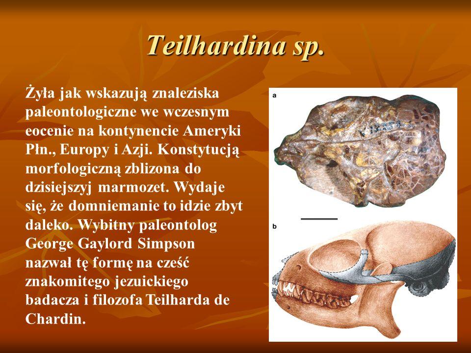 Teilhardina sp.