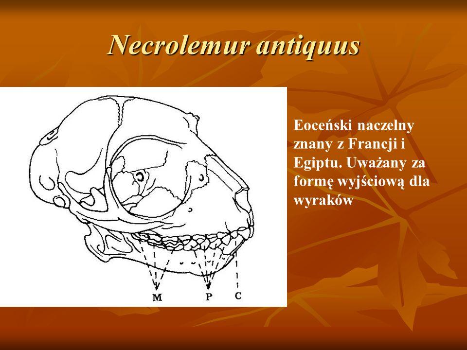 Necrolemur antiquus Eoceński naczelny znany z Francji i Egiptu.