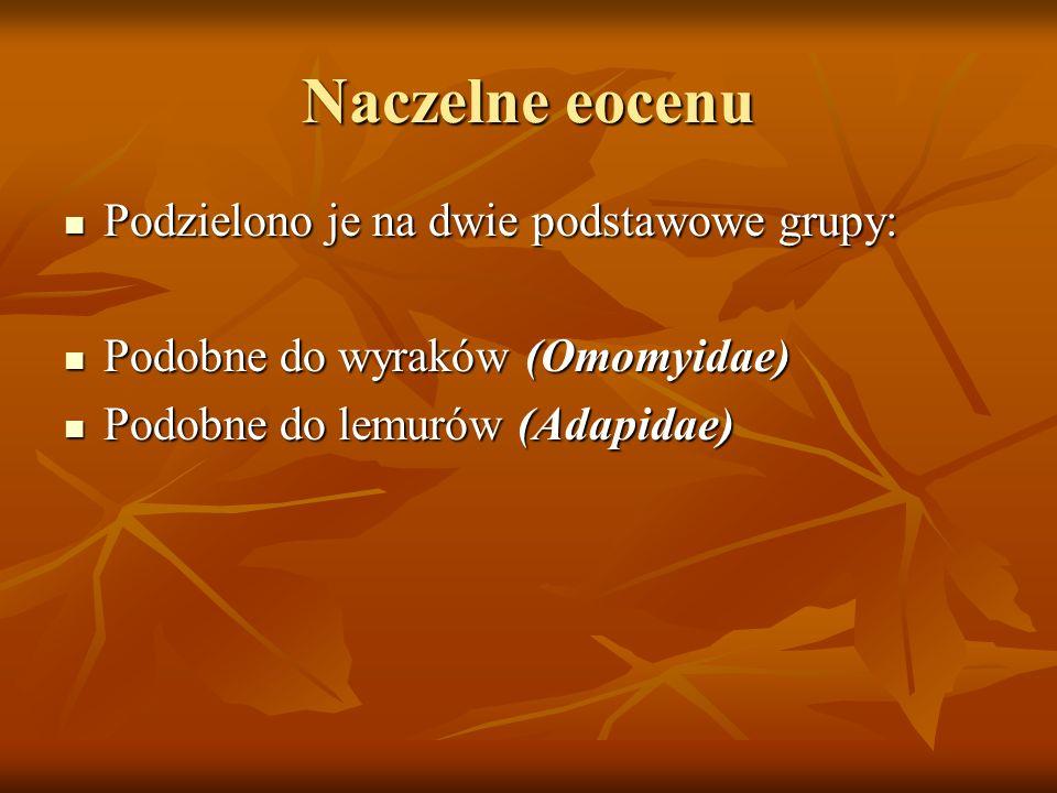 Naczelne eocenu Podzielono je na dwie podstawowe grupy: