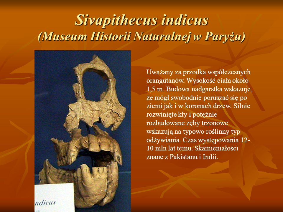 Sivapithecus indicus (Museum Historii Naturalnej w Paryżu)