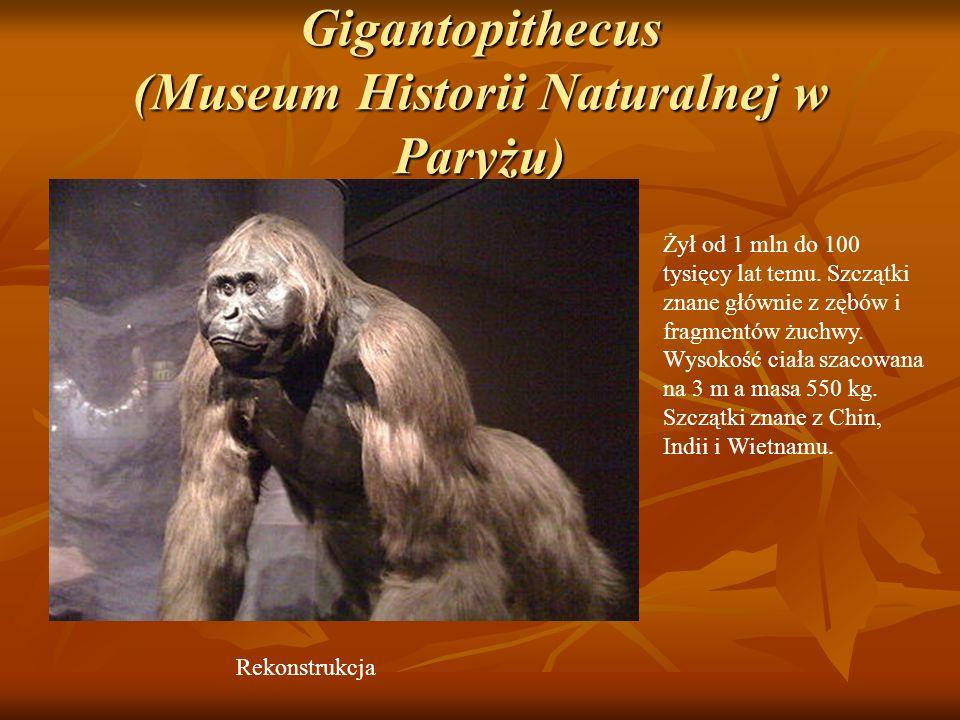 Gigantopithecus (Museum Historii Naturalnej w Paryżu)