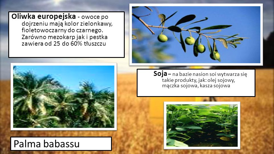 Oliwka europejska - owoce po dojrzeniu mają kolor zielonkawy, fioletowoczarny do czarnego. Zarówno mezokarp jak i pestka zawiera od 25 do 60% tłuszczu
