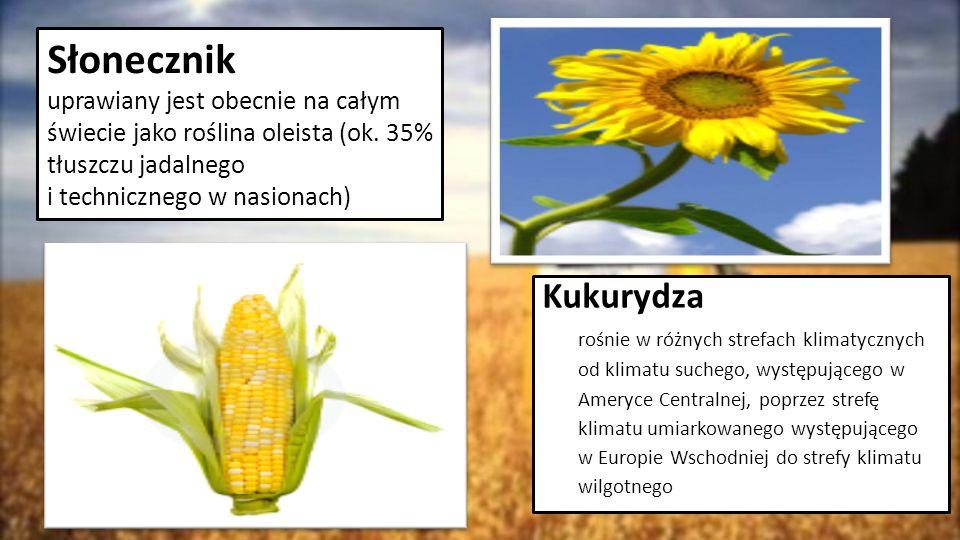 Słonecznik uprawiany jest obecnie na całym świecie jako roślina oleista (ok. 35% tłuszczu jadalnego i technicznego w nasionach)