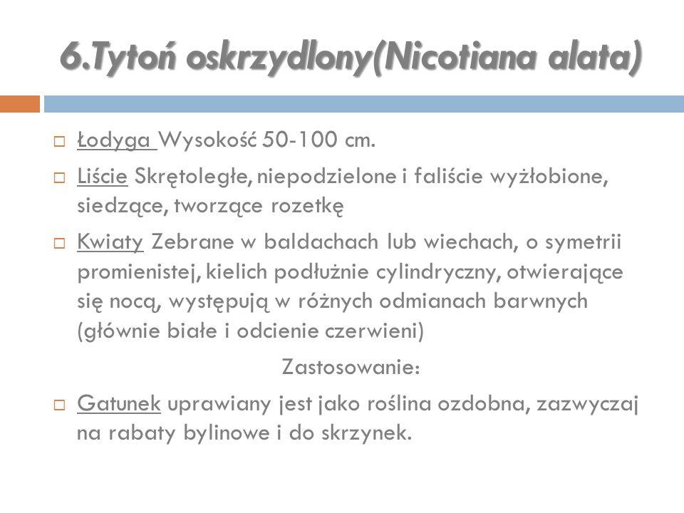 6.Tytoń oskrzydlony(Nicotiana alata)