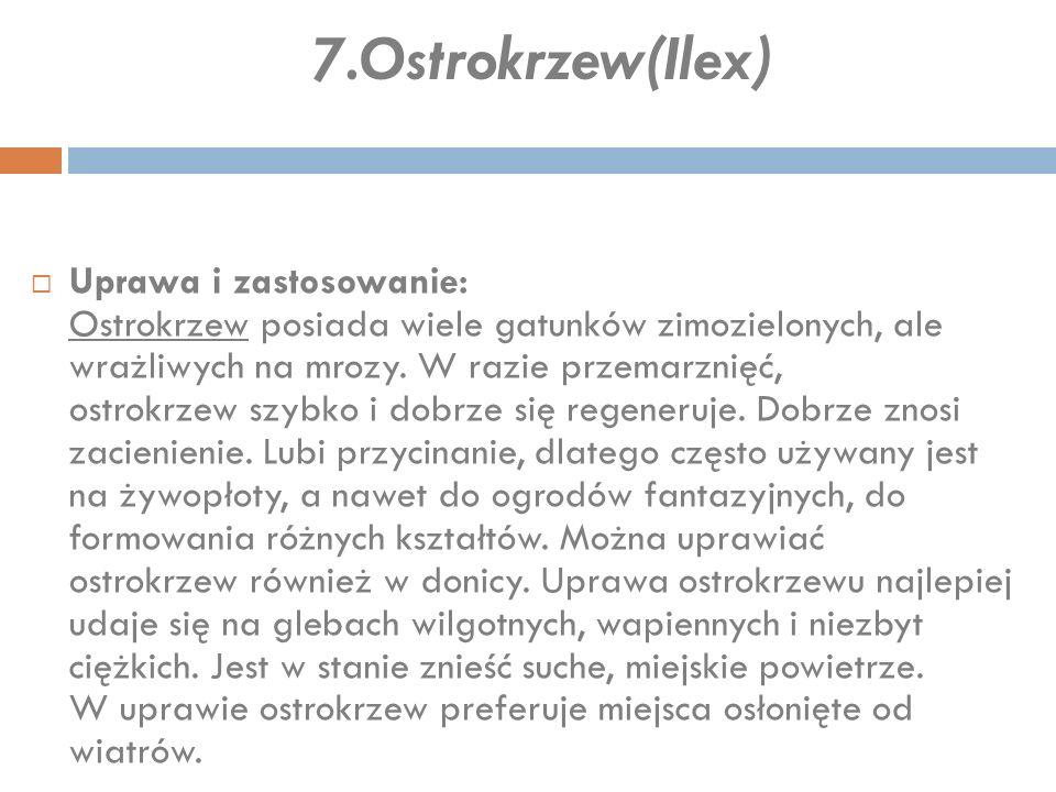 7.Ostrokrzew(Ilex)