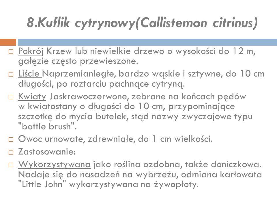 8.Kuflik cytrynowy(Callistemon citrinus)