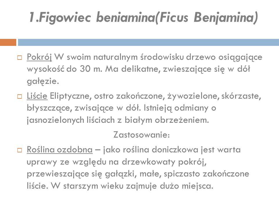 1.Figowiec beniamina(Ficus Benjamina)