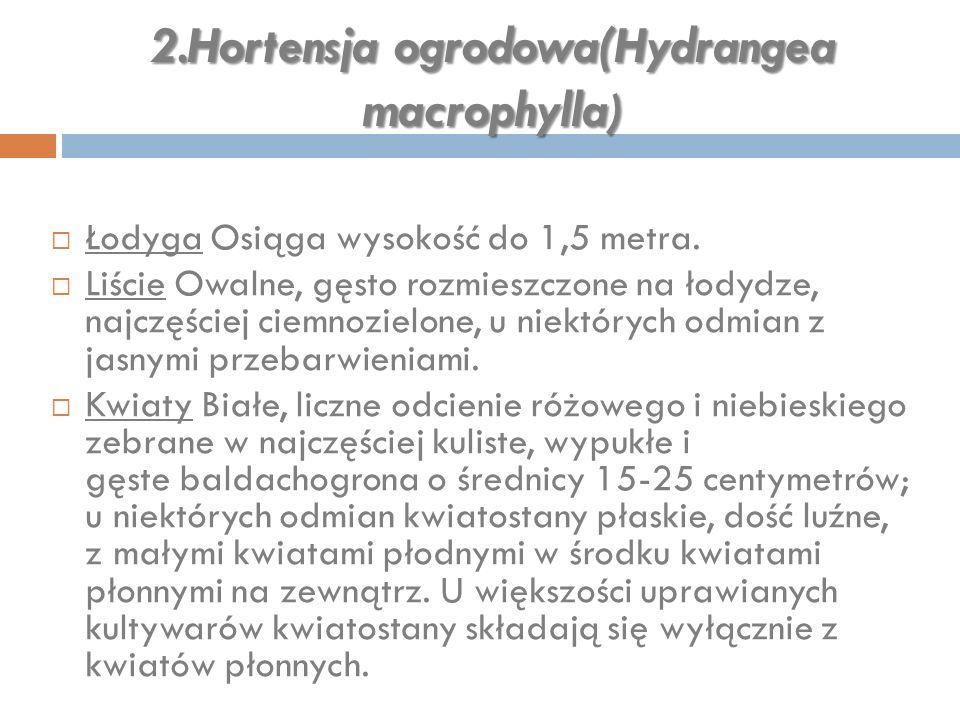 2.Hortensja ogrodowa(Hydrangea macrophylla)
