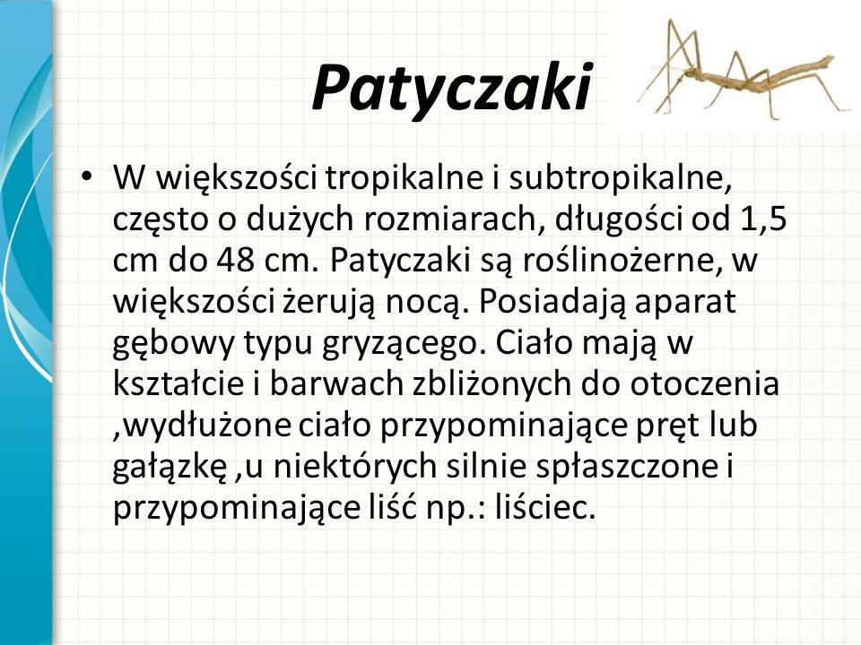 Patyczaki