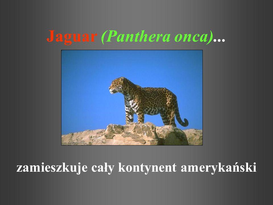 Jaguar (Panthera onca)...