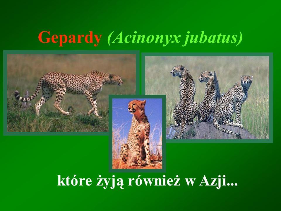 Gepardy (Acinonyx jubatus)