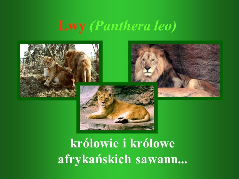 królowie i królowe afrykańskich sawann...