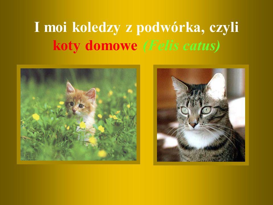 I moi koledzy z podwórka, czyli koty domowe (Felis catus)