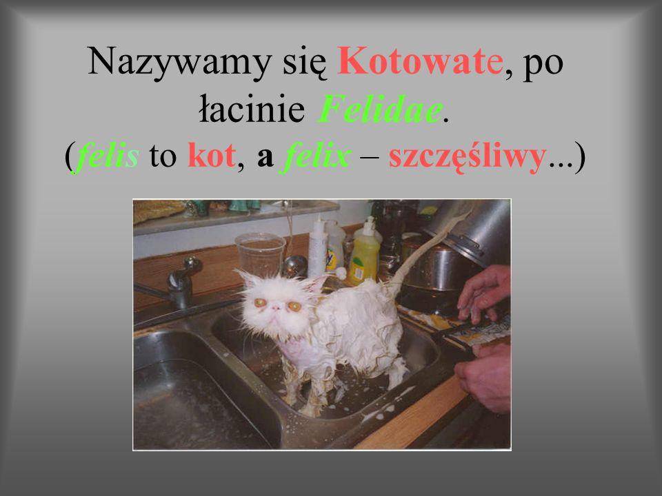 Nazywamy się Kotowate, po łacinie Felidae