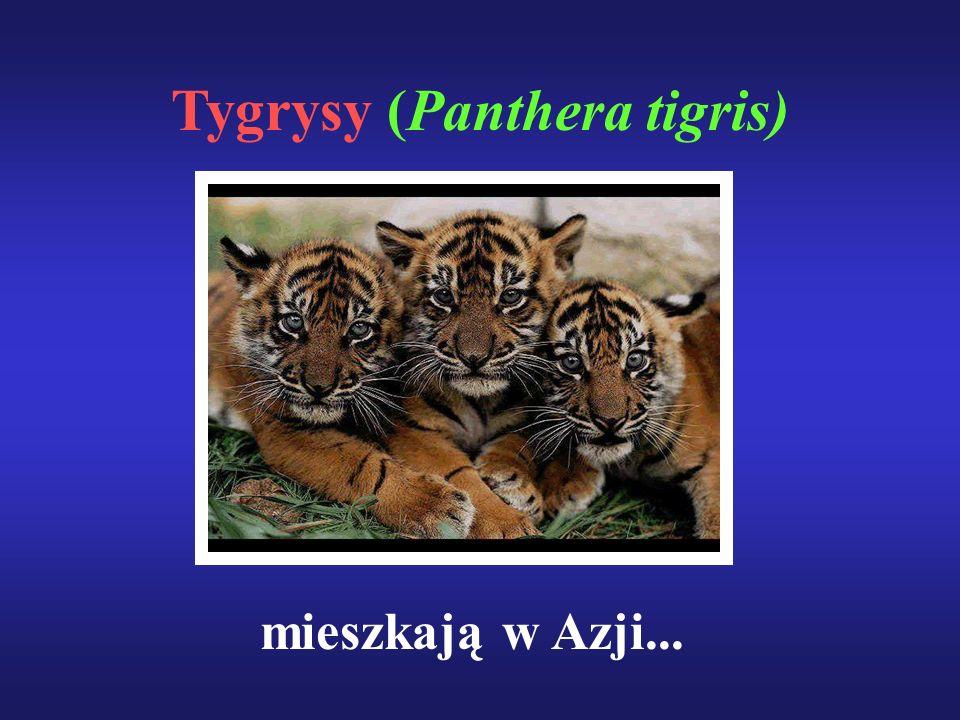 Tygrysy (Panthera tigris)