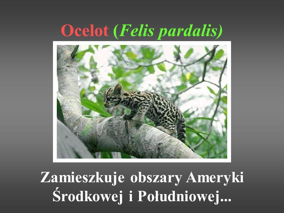 Ocelot (Felis pardalis)