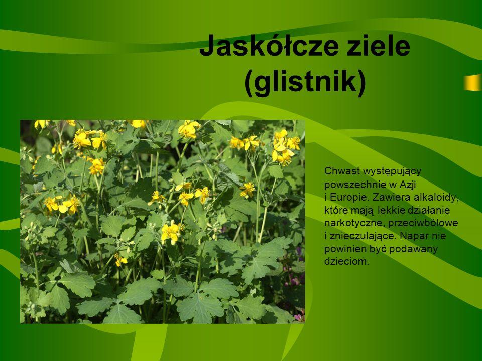 Jaskółcze ziele (glistnik)
