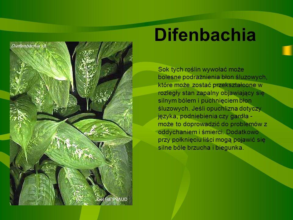Difenbachia